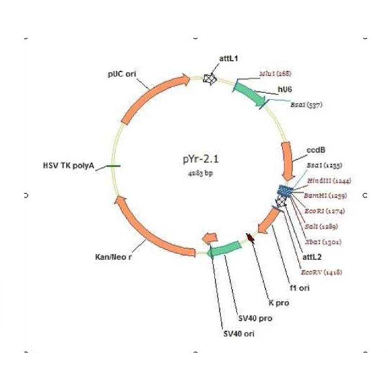 pYr-2.1-hU6(无荧光)