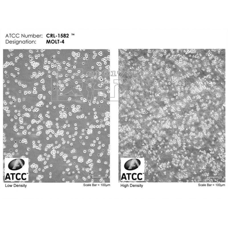 MOLT-4 T淋巴细胞白血病ATCC CRL-1582
