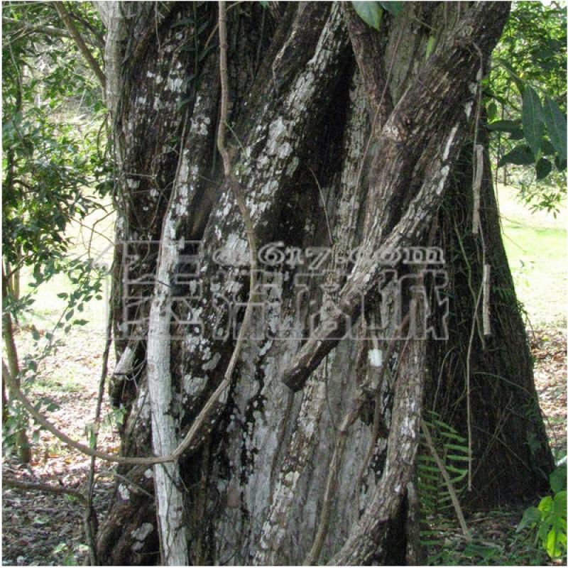 榕树支柱根横切