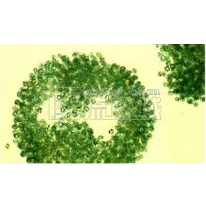 微囊藻装片