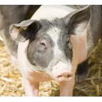 IDEXX 99-40959 猪繁殖与呼吸综合征病毒抗体X3检测(ELISA 96T*5)