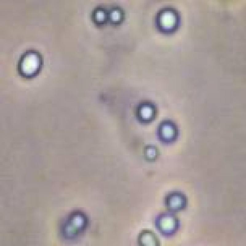 粪产碱菌 Alcaligenes faecalis Castellani et Chalmers