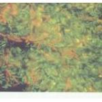 环状芽孢杆菌