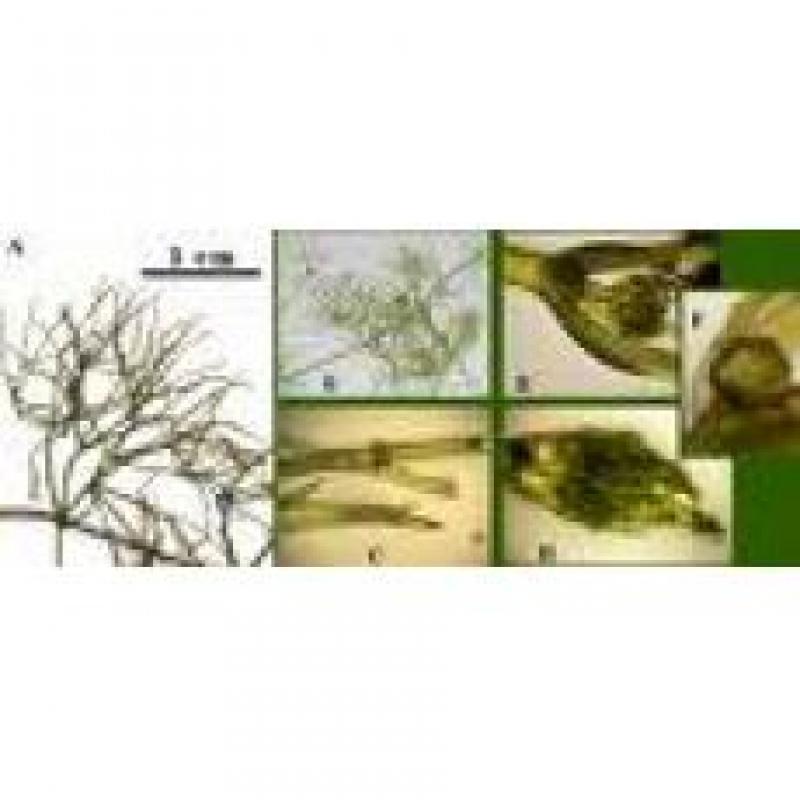 轮藻短枝装片