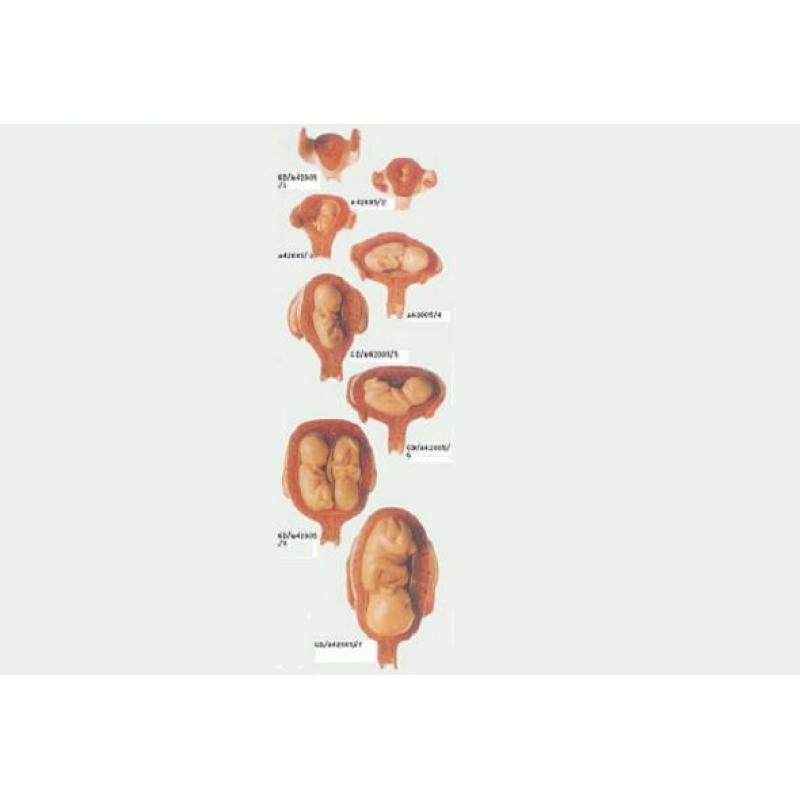 妊娠胚胎发育过程模型(8件)