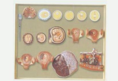受精与早期胚胎发育过程模型