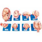 KAS/42005妊娠胚胎发育过程模型(8件/套)