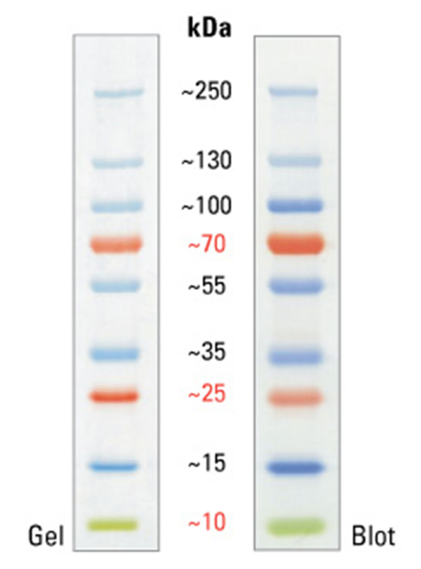 Pierce预染蛋白分子量标准10-250kDa 2×250ul PageRuler Plus Prestained Protein Ladder
