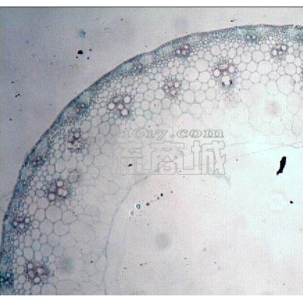 单子叶植物茎横切-示闭合维管束